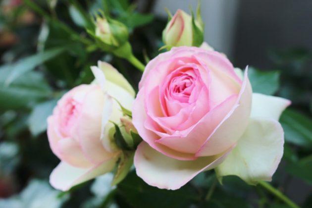 バラの花ピエールドロンサール